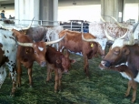 Parade/Cattle Drive
